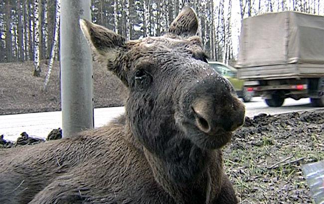 ВПерми зоозащитники пробуют спасти лосенка, которого сбила машина