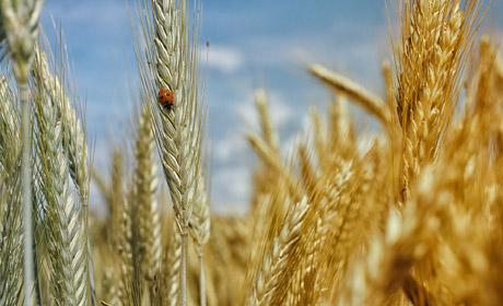РежимЧС введен вПрикамье из-за потери урожая