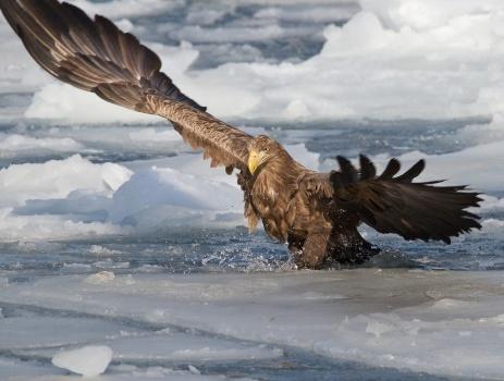 Внебе над Пермью замечен огромный орлан-белохвост