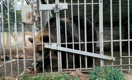 ВПрикамье собирают деньги наспасение медведицы Умки Сегодня в10:16